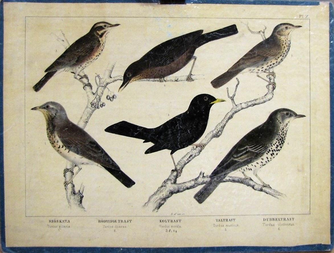 Kramsfågel